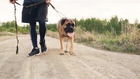 走与他的bullmastiff狗的年轻运动的人特写镜头室外在自然在锻炼训练以后 库存图片