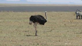 走与在一干燥大草原和吃的一热的天的公驼鸟 股票录像