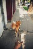 走与在城市街道上的一条红色狗 库存照片