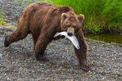 走与在嘴的三文鱼的棕熊 免版税库存照片
