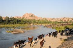 走与山羊牧群的人们在亨比,印度 图库摄影