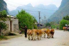走与母牛他的牧群,北越南,河江市的农夫 库存图片