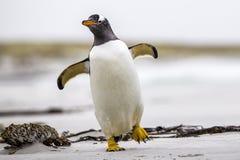 走与翼传播的Gentoo企鹅(Pygoscelis巴布亚) Fal 库存图片
