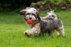 走与他的球的嬉戏的havanese小狗 免版税库存图片