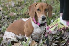 走为锻炼的达克斯猎犬狗和所有者 库存照片