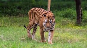 走充满自豪感的皇家孟加拉老虎在森林里 免版税库存照片