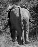 走到水坑的大象 免版税库存照片