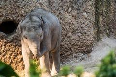 走动在动物园的年轻和小婴孩大象 图库摄影