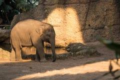 走动在动物园的年轻和小婴孩大象 库存图片