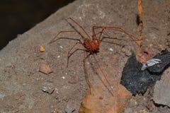 走动在晚上的蜘蛛 免版税库存照片