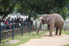 走动在电篱芭附近的一头巨型大象 图库摄影