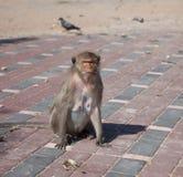 走动的猴子, 免版税库存照片