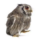 走北面无血色的猫头鹰- Ptilopsis leucotis 免版税图库摄影