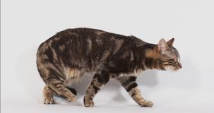 走反对白色背景,慢动作的布朗平纹家猫 股票视频