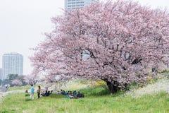 走和享用樱花和放松在多摩市的人们 库存图片