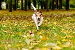 走和使用在秋天五颜六色的叶子的秋天公园的愉快的狗 免版税图库摄影