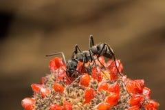 走和吃在红色果子花种子的蚂蚁 免版税库存图片