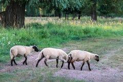 走和吃在绿色牧场地的小组三只黑带头的绵羊 库存照片