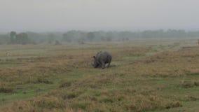 走和吃草在非洲大草原的一个草甸的犀牛在大雨中 股票视频