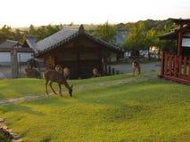 走和吃近草的鹿Nigatsu寺庙,有金黄日落背景,奈良,日本 库存图片