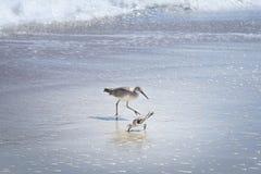 走和寻找在佛罗里达海滩的威利特鸟 免版税库存图片