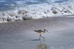 走和寻找在佛罗里达海滩的威利特鸟 图库摄影