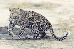 走和寻找在白天期间的孤立豹子 图库摄影