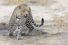 走和寻找在白天期间的孤立豹子 库存图片