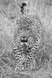 走和寻找在自然艺术性的转换的孤立豹子 库存图片