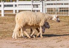 走和搜寻食物的绵羊 库存图片