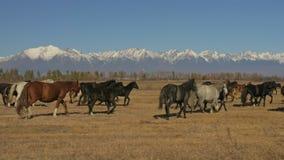 走和连续马 跑在背景积雪覆盖的山的干草原的马牧群  慢动作以率 股票视频