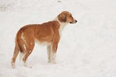 走和追逐在雪的街道狗 免版税图库摄影
