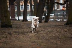 走在一个公园的一条美丽,逗人喜爱和爱拥抱金毛猎犬狗在一个多云冬日 免版税库存照片