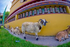 走在一个大厅里的室外观点的四只山羊在镇在塔石难民解决在博克拉,尼泊尔,白点 图库摄影