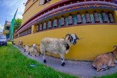 走在一个大厅里的室外观点的四只山羊在镇在塔石难民解决在博克拉,尼泊尔,白点 免版税库存照片