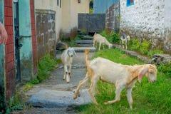 走在一个大厅里的室外观点的四只山羊在镇在塔石难民解决在博克拉,尼泊尔 库存照片