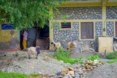 走在一个大厅里的室外观点的四只山羊在镇在塔石难民解决在博克拉,尼泊尔 免版税库存图片