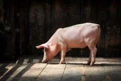 走在一个摊位的仓库广场的小猪在农场 免版税图库摄影
