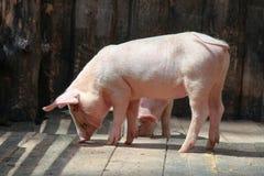 走在一个摊位的仓库广场的小猪在农场 免版税库存照片
