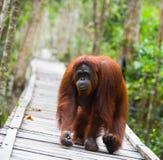 走在一个木桥的猩猩在密林 印度尼西亚 加里曼丹婆罗洲海岛  库存照片