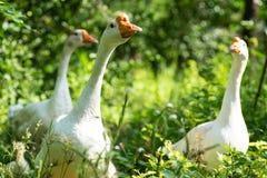 走在一个绿色庭院里的白色鹅 免版税库存照片