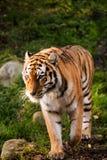 走在一个绿色森林里的老虎 免版税库存图片