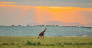 走在一个谷的长颈鹿有日落背景 图库摄影