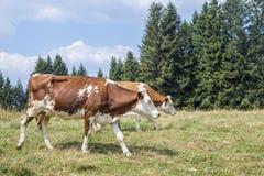 走在一个高山牧场地的两头母牛包围由杉木 库存图片