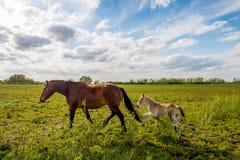 走在一个晴天的母马和她的驹 免版税库存图片