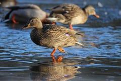 走在一个冻湖的一只母野鸭鸭子 免版税库存图片