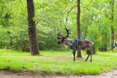 走在一个绿色公园的驯鹿 免版税库存照片
