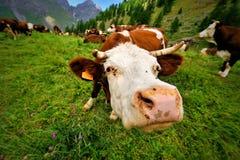 走在一个绿色阿尔卑斯草甸的母牛头 库存图片