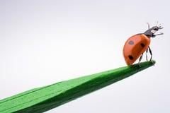 走在一根木棍子的美丽的红色瓢虫 图库摄影