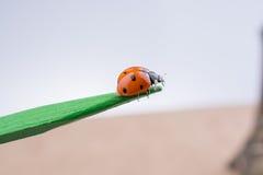 走在一根木棍子的美丽的红色瓢虫 免版税库存图片